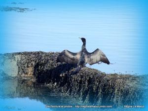 Un cormoran se sèche les ailes...RLM 2013