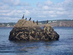 Cormorans à Morgat (29) RLM 2012