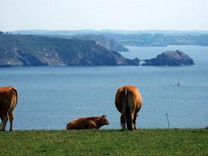 Vue d'une vache sur le Goulet de Brest ! RLM 2011