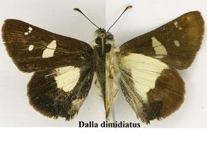 Dalla d. dimidiatus