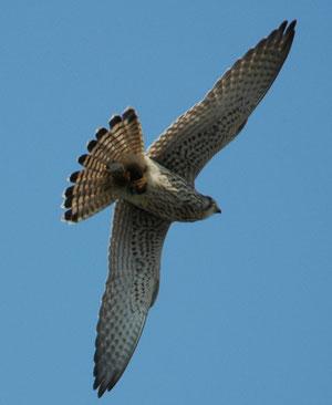 Fliegendes Turmfalken-Weibchen. Foto: B. Winkler