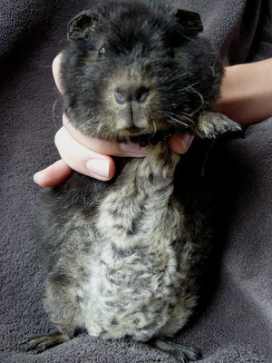 THEMIS, très jeune femelle loutre noire. Son ventre est crème.