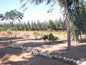 Reflorestamento com eucalipto na Chapada do Araripe