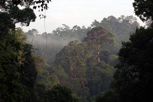 Los bosques de Kalimantan, los más perjudicados del proceso. De ellos se obtiene el aceite de palma utilizado en la alimentación, los cosméticos y recientemente en biocombustibles.
