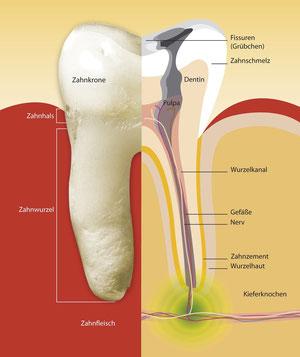 Wurzelkanalbehandlung (Endodontie): Aufbau eines Zahnes (© proDente e.V.)