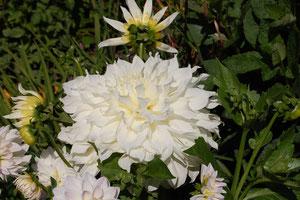 weiße Riesendahlie