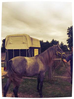Verkaufspferd Chenoa, 2,5 Jahre