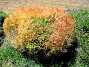 La Cuscute, plante parasite