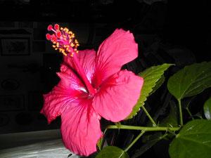 Hibiscus, WK