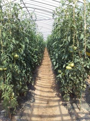 ハウストマト 成長中