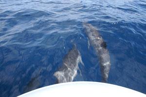 Dolfijnen tussen Bonaire en klein Bonaire