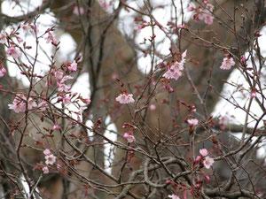 桜の観察会・キンキマメザクラ