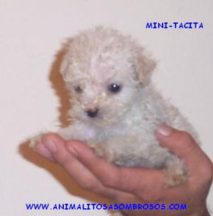 Minitacitas Criadero Canino Www Animalitosasombrosos Jimdo Com