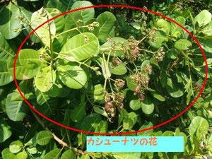 Cashew Flower