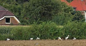 insgesamt 13 Störche konnte ich am 27.08.12 auf einem Feld nahe Appelhülsen beobachten