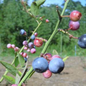 ブルーベリーの収穫期(6~8月)