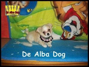 Foto cachorro chihuahua macho de color crema y blanco de pelo largo de los criadores de perros de raza chihuahua De Alba Dog, venta de cachorros chihuahua de pelo corto y largo con pedigree y afijo en Valencia, Comunidad Valenciana, España