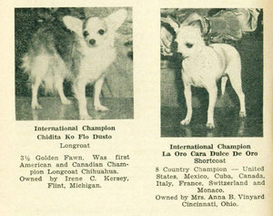 Chihuahuas de exposicion