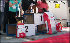 Foto de perro adulto de raza chihuahua macho de pelo corto de color negro-fuego de los criadores de chihuahuas De Alba Dog de Valencia, Comunidad Valenciana, España, venta de chihuahuas, cachorros chihuahua de pelo corto y largo en venta