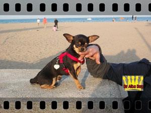 Foto de perro adulto, de raza chihuahua, sexo macho, de pelo corto, de color negro-fuego, propiedad de los criadores de chihuahuas De Alba Dog en Valencia (España), venta de chihuahuas; cachorros chihuahua de pelo corto y largo con pedigree y afijo