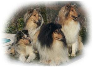 Imagen perros de raza; Collie de pelo largo