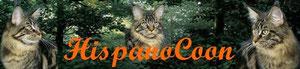 Banner de raza de gato Maine Coon