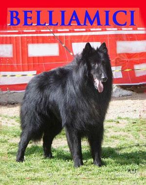Perro raza Pastor Belga Groenandel