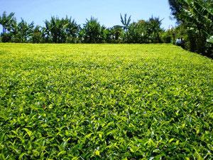 うねをつくらず、ぎっしり植えられた茶木