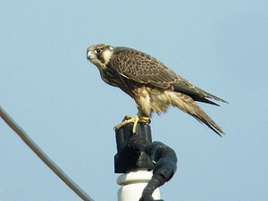 ・2013年12月5日 北印旛沼 幼鳥