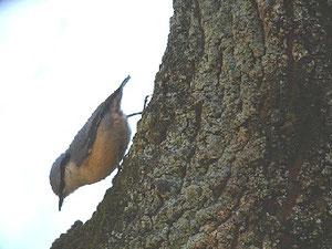 ・2007年2月24日 秋ケ瀬公園  ・樹を登り降りして採餌。