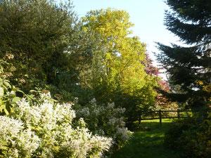 Behind Polygonum polystachium, the arboretum