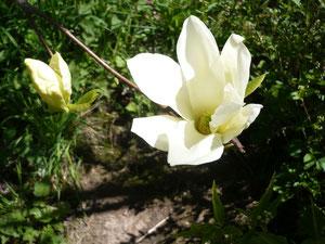 """Fleur du magnolia """"Yellow riverr"""""""