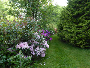 "Rhododendron ""Marcel Ménard"""