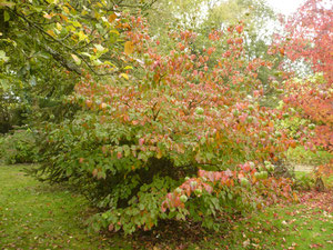 Le cornus kousa 'Satomi' en automne