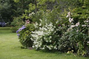 Hydrangea paniculata Kiushu et rosier Sally Holmes