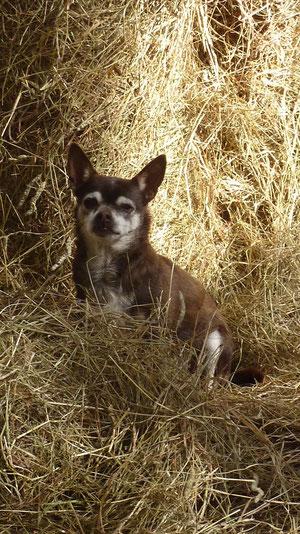 Batman, unser Chihuahua ist im Frühjahr 2012 leider gestorben
