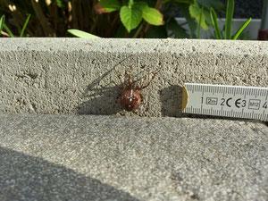Kreuzspinne kaum mehr als 1 cm Körpergröße