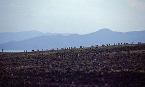 Gregge al pascolo sulle rive del lago Turkana