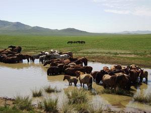 mongolische Wasserpferde