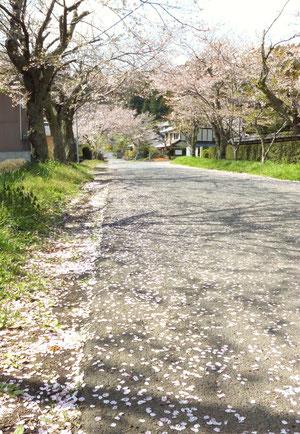 辺り一面、桜の花びらがじゅうたんのように広がる