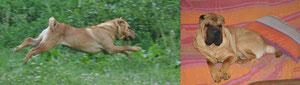 Le Shar Pei peut être très vif et alerte en extérieur et un chien très calme en intérieur, il sait adapter son comportement aux situations qu'il rencontre.