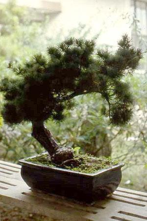 Ein Bonsaibaum, - ein chinesischer Klassiker