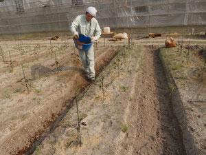EMリサイクル粉末肥料の追肥状況
