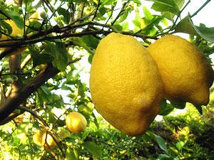 Limoni/Memoria di lavoro