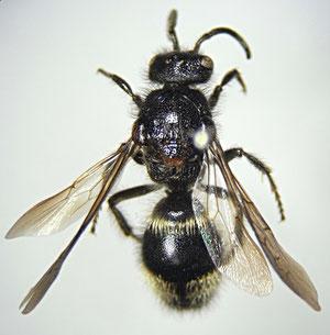 ミカドアリバチ♂(アリバチ科)