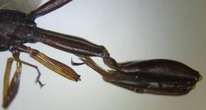 ケツノヤセバチの後脚(typeではない)