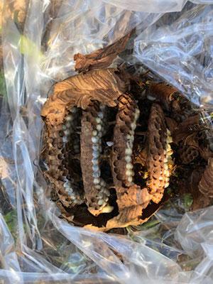 春日井市でキイロスズメバチの巣の撤去