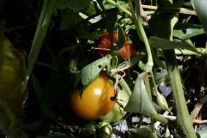 スリーエフ農法の無農薬野菜 片野さん