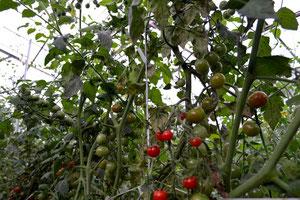 無農薬野菜 ミニトマト