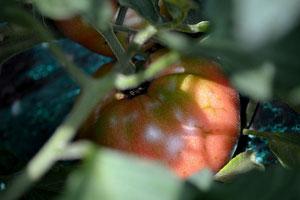 無農薬野菜 森田さんのトマト